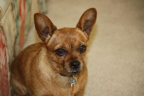 Our dog - A pretty clear picture of the chihuahua mix we have
