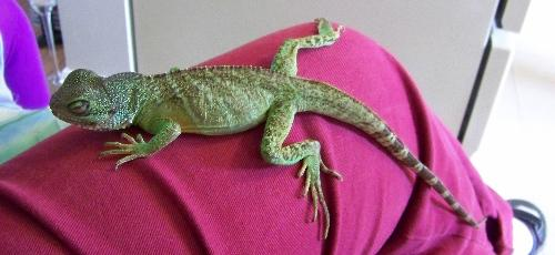 Ziggy the Chinese Water Dragon - Adopted from a reptile rescue agency, little Ziggy was nursed back to health by a good friend of our family. Here, he's resting quietly on my leg.
