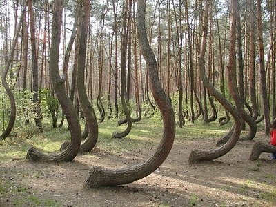 Weird Trees - These trees are in a Poland forest. Sciencists have no idea why the trees grow like this.