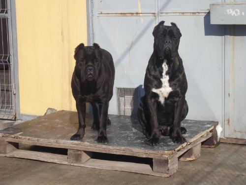 Cane Corso - a very powerful yet lovable dog