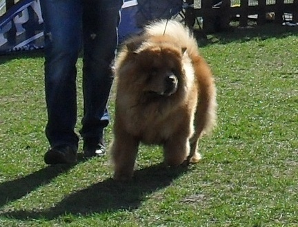 Chow Chow - at CAC Brasov 2011