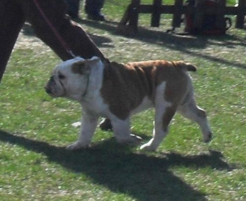 English Bulldog - at CAC Brasov 2011
