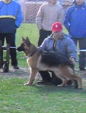 German Shepherd - at CAC Brasov 2011