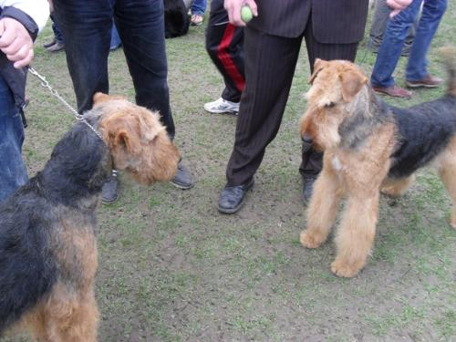 Airedales - at CAC Brasov 2011