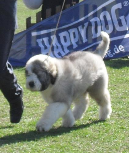 Romanian Shepherd Mioritic puppy - at CAC Brasov 2011