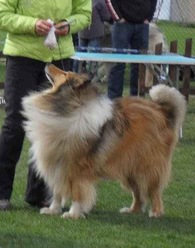 Collie - at CAC Brasov 2011