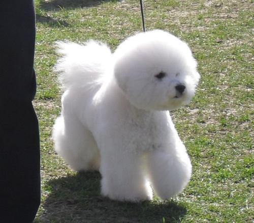 Bichon a Poil Frise - at CAC Brasov 2011