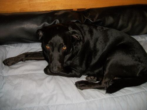 Miky, - Im a black Labrador and I have my own couch!!