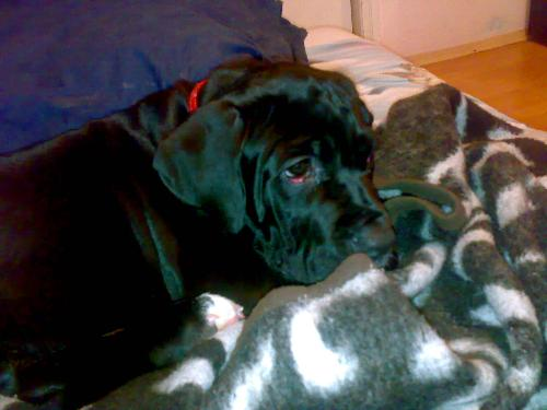 Cane Corso - A strong yet lovable dog