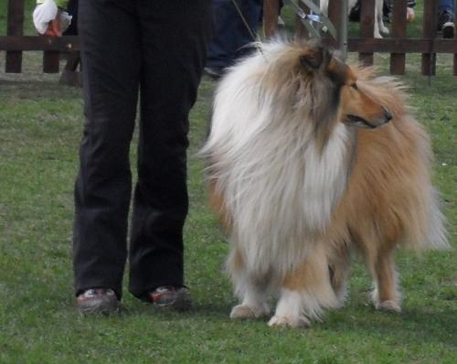 Collie - at dog show CAC Brasov 2011