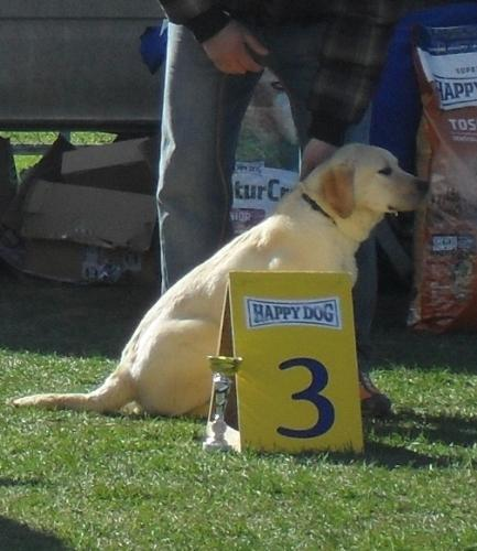 Labrador - at dog show CAC Brasov 2011