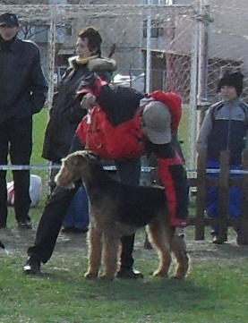 Airedale - at dog show CAC Brasov 2011