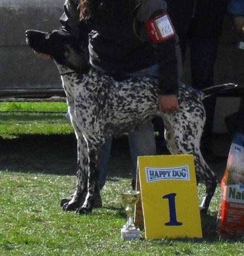 German Pointer - at dog show CAC Brasov 2011
