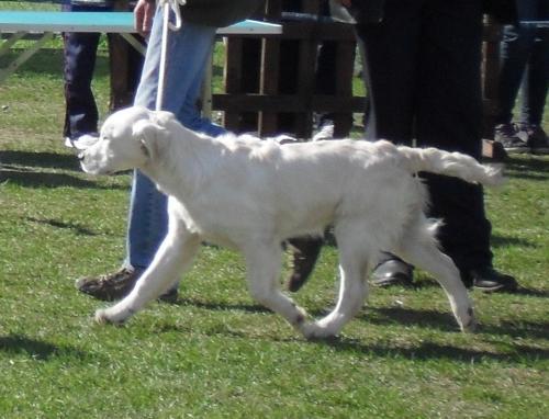 Labrador - at dog show CAC Brasov 2011