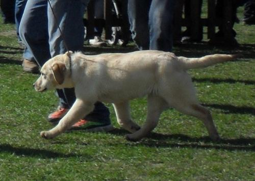 Labrador puppy - at dog show CAC Brasov 2011