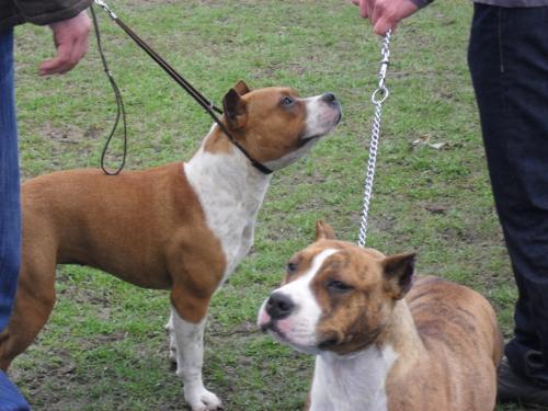 Amstaffs - at dog show CAC Brasov 2011