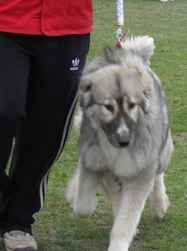 Romanian Shepherd - Carpatin - at dog show CAC Brasov 2011
