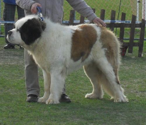 Saint Bernard - at dog show CAC Brasov 2011