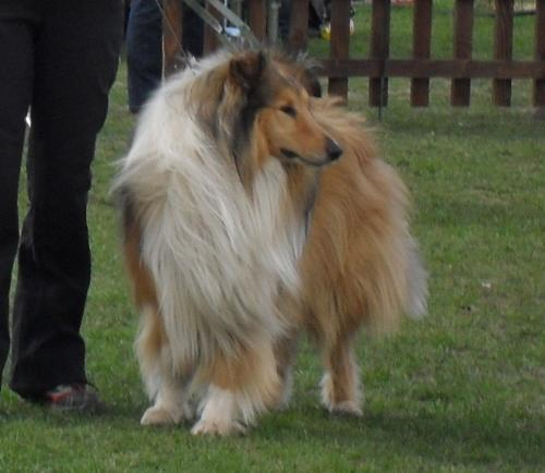 Rough Collie - at dog show CAC Brasov 2011