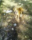 Dogs PitBulls (My scrappy) - My pitbull scrappy