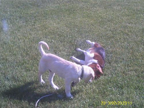 lab and beagel - Gunther is just a puppy and he is keeping Bailey busy!