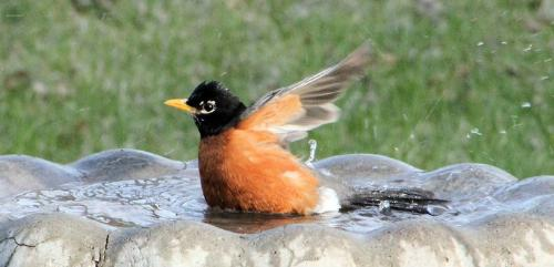 Robin - A Robin taking a bath in a bird bath.
