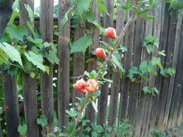 flower buds - I only saw their flowers once. They froze each year. :(