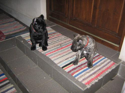 Cane Corso - They might look fierce but they can be so lovable!