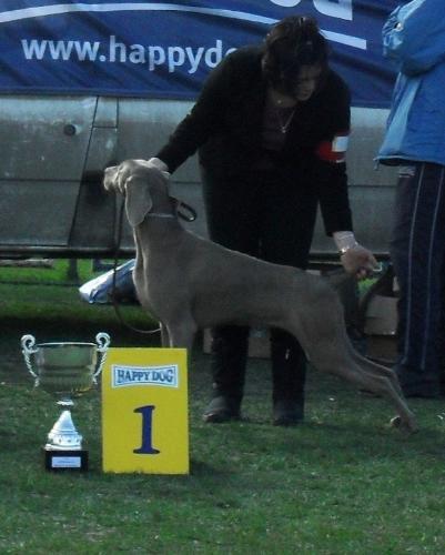 Weimaranner - at dog show CAC Brasov 2011