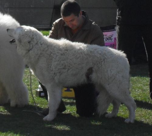 Kuwasz - at dog show CAC Brasov 2011