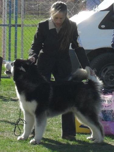 Alaskan Malamute - at dog show CAC Brasov 2011