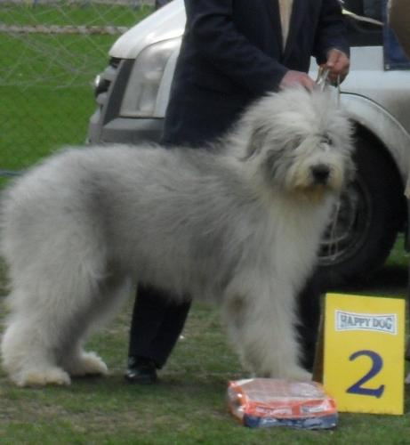 Romanian Shepherd Mioritic - at dog show CAC Brasov 2011