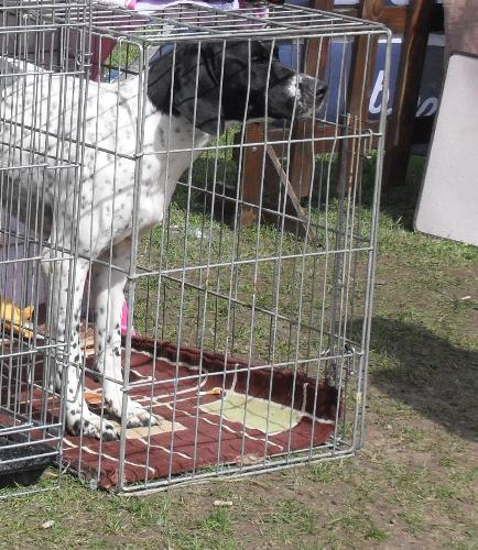 English Pointer - at dog show CAC Brasov 2011