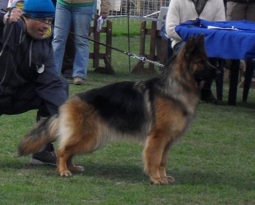 German Shepherd - at dog show CAC Brasov 2011