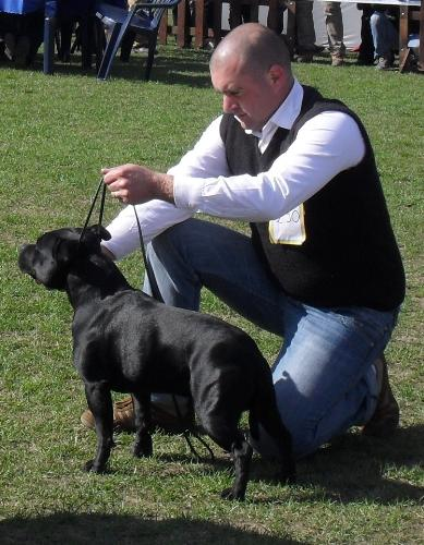 Staffie - at dog show CAC Brasov 2011
