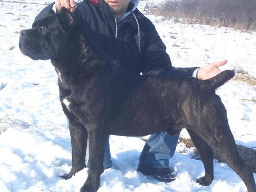 Cane Corso - Powerful yet very lovable dog
