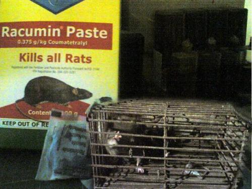rat trap in a cage - rat trapped in a cage using racumin paste  one of the effective ways to eliminate the pests such as rats....