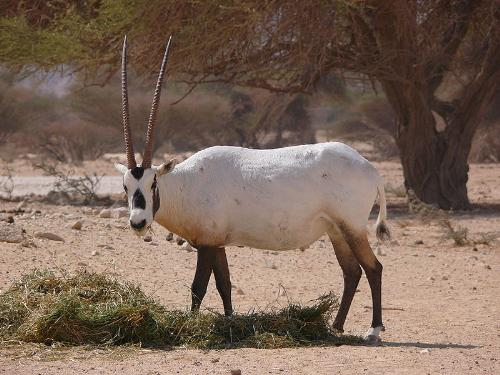 Arabian Oryx - The Arabian Oryx had become extinct in the wild but thanks to people it is making a comeback in the wild!