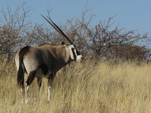Oryx - An African Oryx. A beautiful animal!