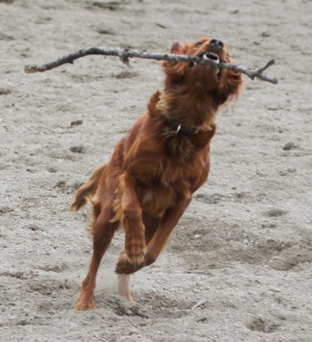 Irish setter with stick - Dog running with a stick