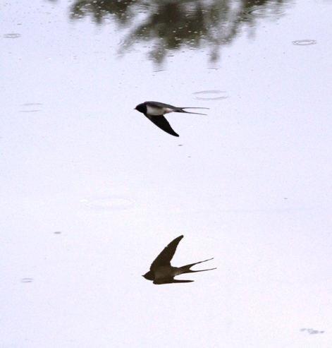Bird reflected in the water - Bird flying over water