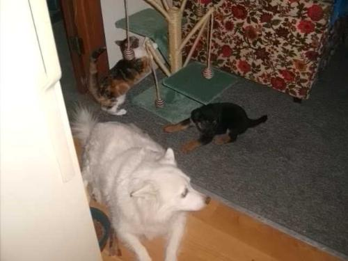 new puppy in the house - new puppy lugnut likes to play with the kitty toy. the big white dog is checking him out too.