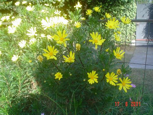 My plant with her yellow flowers. - They might be cousins of the chrysanthemum, I think.