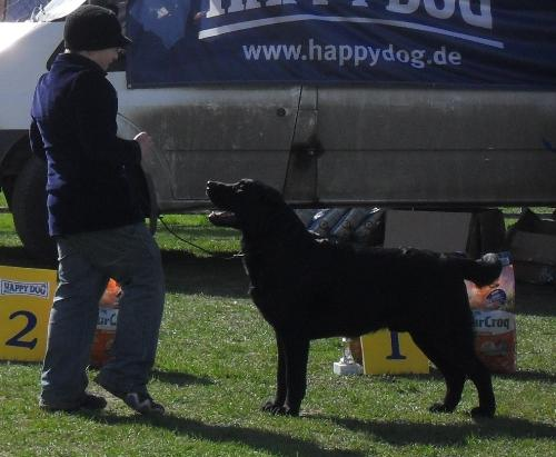 Black Labrador - at CAC Brasov 2011