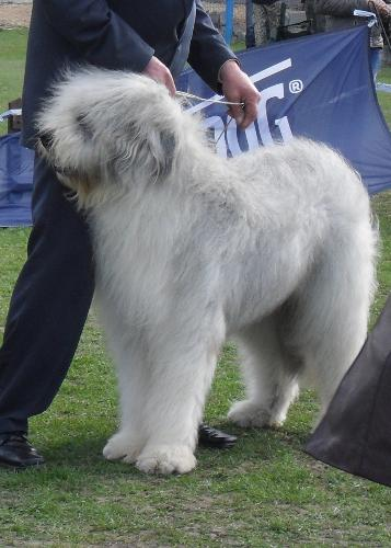 Romanian Shepherd Mioritic - at CAC Brasov 2011