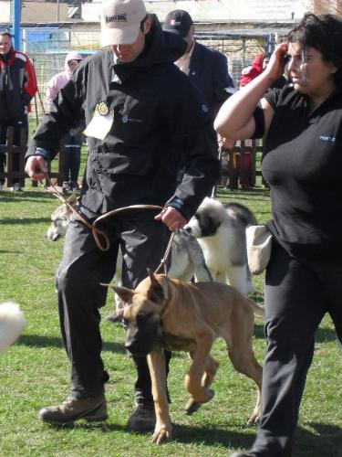 Great Dane puppy - at CAC Brasov 2011