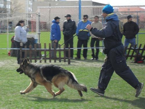 German Shepherd - at CAC Brasov 2011