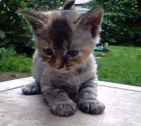 Precious.. Kitten with mysterious hair loss - my adorable precious.. who lost her hair as a baby.