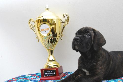 Cane Corso - A beautiful, strong and lovable dog