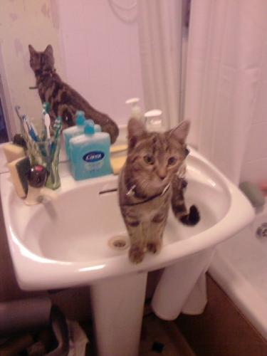 Cat in sink - cats like to explore everywhere!